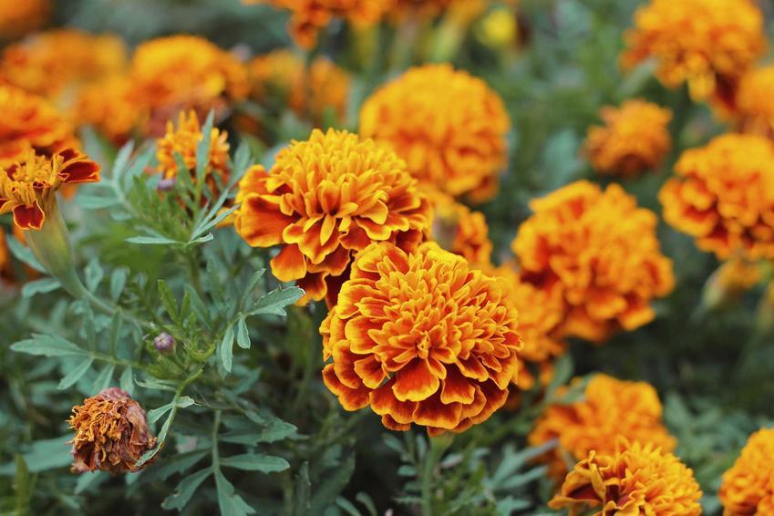 Aksamitka wzniesiona z łaciny tagetes erecta, czyli kwiaty aksamitki, warunki wysiewu, wymagania, stanowisko, pielęgnacja - porady