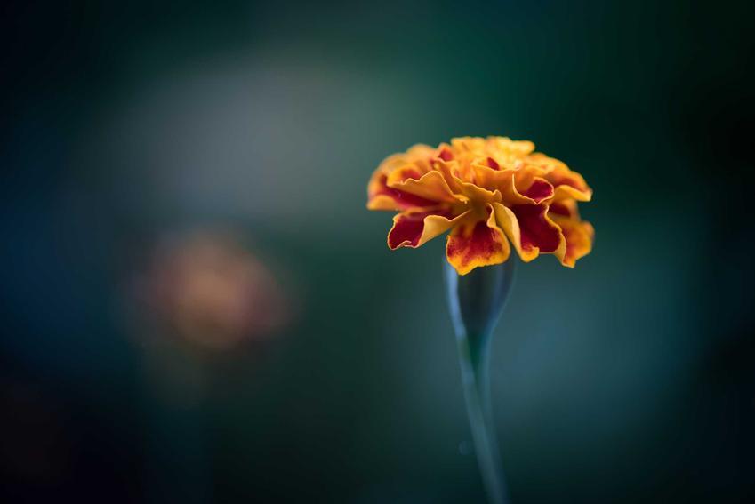 Pojedynczy kwiat aksamitki wzniesionej, czyli tagetes erecta na ciemnym tle, a także warunki uprawy, wysiew, stanowisko, wymagania, pielęgnacja