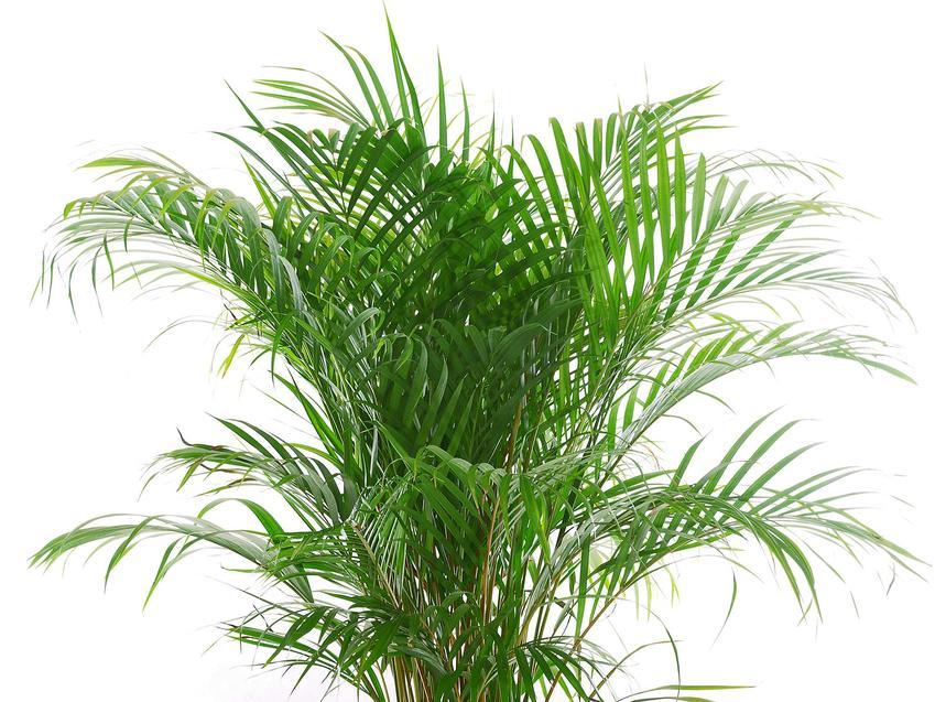 Palma betelowa areka katechu, a także areka żółtawa i żuwipalma, ich cena, pielęgnacja i uprawa oraz wymagania w ogrodzie