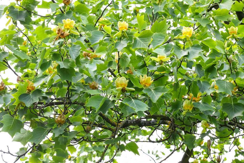 Tulipanowiec i inne drzewa szybko rosnące w ogrodzie, czyli najszybciej rosnące drzewa i krzewy ozdobne do ogrodu