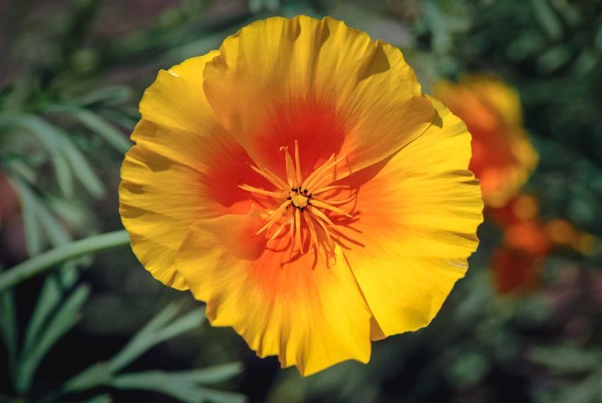 Maczek kalifornijski czy mak kalifornijski w czasie kwitnienia, czyli eszolcja kalifornijska oraz jego wymagania, uprawa i pielęgnacja