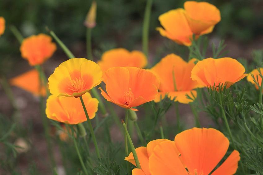 Maczek kalifornijski, czyli mak kalifornijski lub eszolcja kalifornijska oraz jego wymagania, uprawa i pielęgnacja