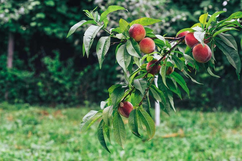 Owoce brzoskwini na drzewie, a także cięcie brzoskwini, czyli obcinanie i przycinanie brzoskwini po owocowaniu i nie tylko