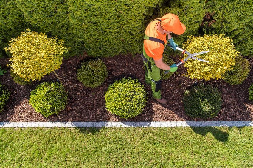 Ogrodnik przycinający drzewka, czyli formowanie drzewek, kształtowanie drzew i formowanie drzew ozdobnych