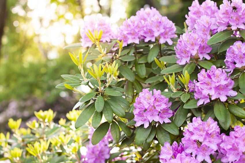 Kwitnący rododendron, a także przesadzanie rododendrona i kiedy przesadzać rododendrony w ogordzie krok po kroku