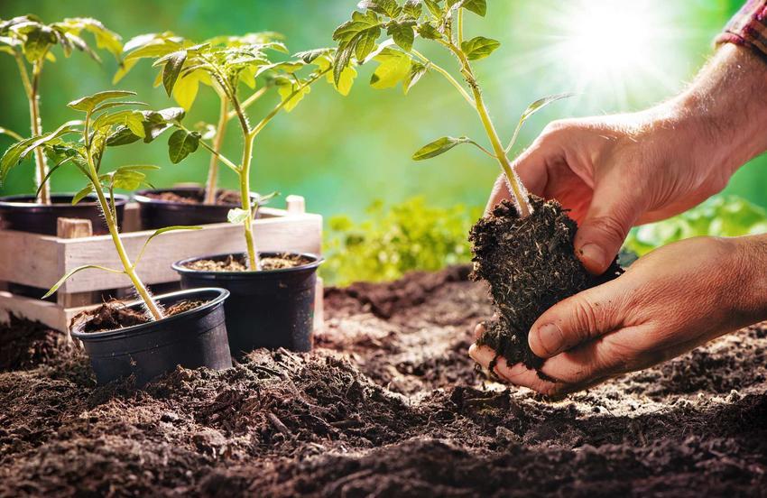 Sadzonki pomidorów wysadzane w ogrodzie oraz porady, gdzie kupić sadzonki pomidorów i siewki pomidorów - porady
