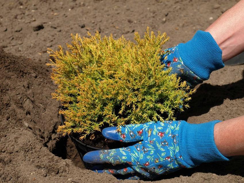 Sadzenie iglaków, czyli ziemia do iglaków i podłoże do iglaków, w tym również ziemia pod tuje do pojemników i do ogrodu