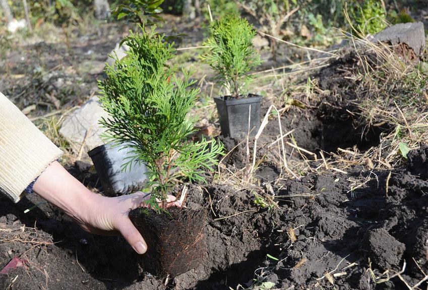 Sadzenie iglaków, czyli ziemia do iglaków i podłoże do iglaków, w tym również ziemia pod tuje do ogrodu i do pojemników