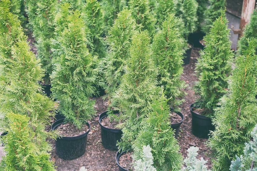 Tuje w doniczkach oraz rodzaje nawozów do tui i porady, kiedy nawozić tuje, w tym jesienne nawożenie i nawożenie wiosną