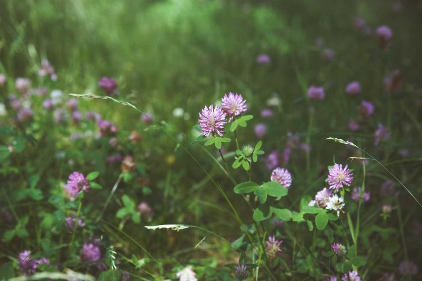 Koniczyna na poplon jako nawóz organiczny, czyli nawożenie organiczne i polecane nawozy naturalne krok po kroku