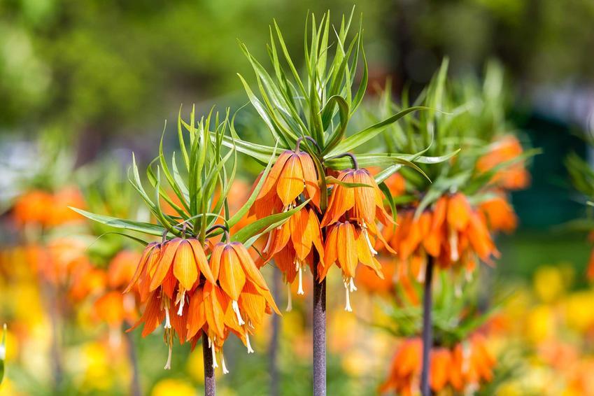 Korona cesarska, szachownica cesarska czy też lilia cesarska oraz jej uprawa i pielęgnacja w ogrodzie krok po kroku