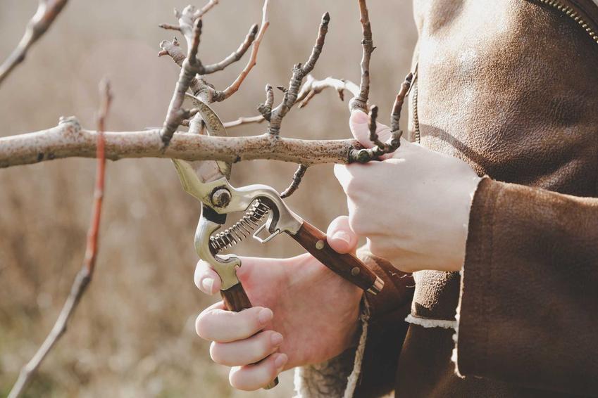 Przycinanie śliwy, czyli cięcie śliwy krok po kroku oraz przycinanie drzew owocowych, najlepsze terminy, cięcie wiosenne, jesienne i zimowe