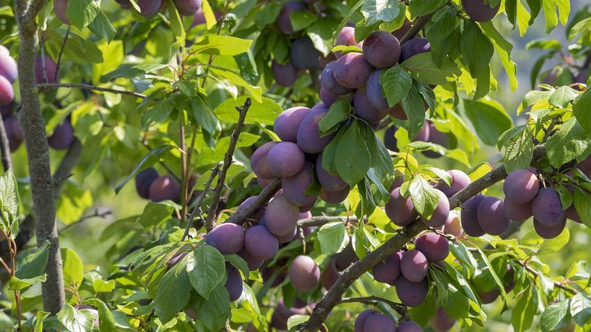 Śliwa z dojrzałymi owocami oraz cięcie śliwy i przycinanie śliwy po posadzeniu i w innych okresach roku, a także cięcie drzew owocowych