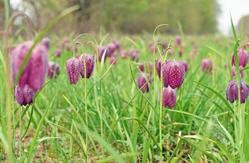 Kwiat szachownica kostkowata w czasie kwitnienia oraz jej uprawa i pielęgnacja w ogrodzie krok po kroku