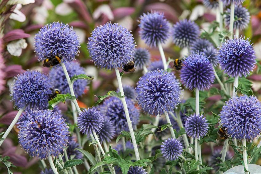 Przegorzan pospolity w czasie kwitnienia, a także perzogan kulisty oraz nasiona, uprawa, pielęgnacja