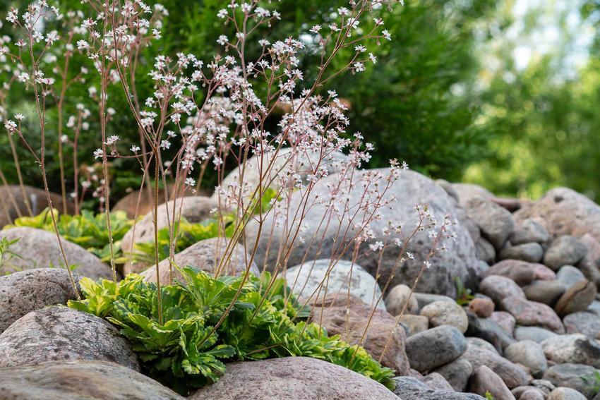 Skalnica cienista, z łaciny Saxifraga umbrosa jako rodzaj traw ozdobnych, a także skalnica rozłogowa i skalnica Arendsa