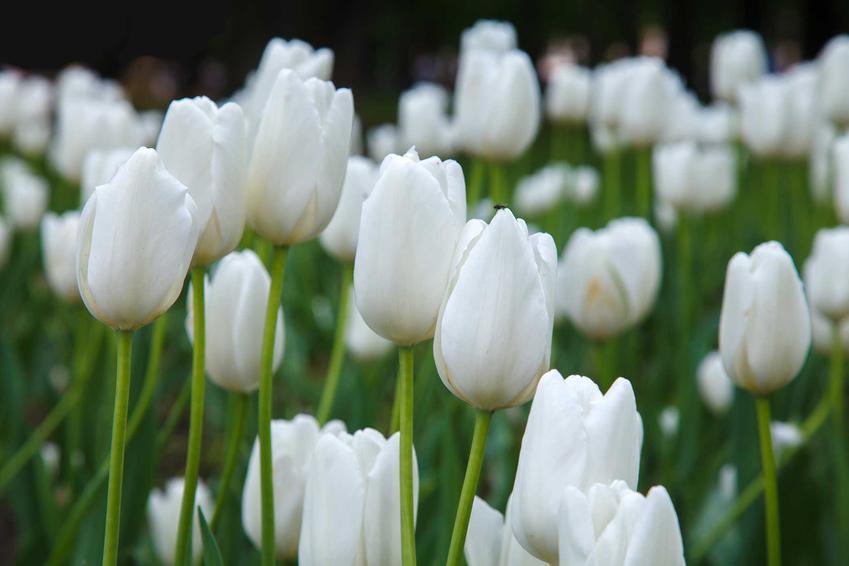 Białe tulipany w czasie kwitnienia oraz bukiet białych tulipanów, a także ich uprawa i pielęgnaja w ogrodzie