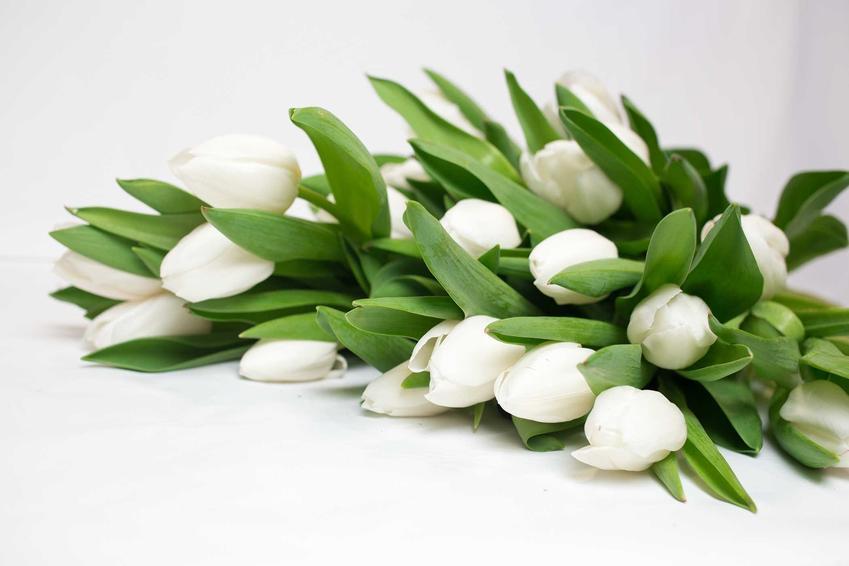 Bukiet białych tulipanów. a także białe tulipany w ogrodzie oraz uprawa i pielęgnacja białych tulipanów krok po kroku