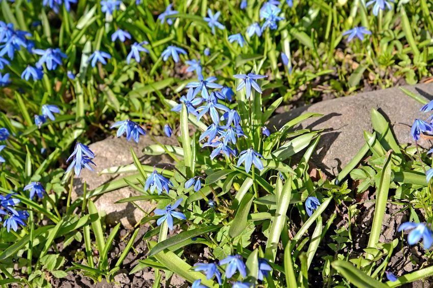 Cebulica dzwonkowata, cebulica peruwiańska, cebulica niebieska, cebulica biała i inne odmiany - opis, wymagania, stanowisko - porady