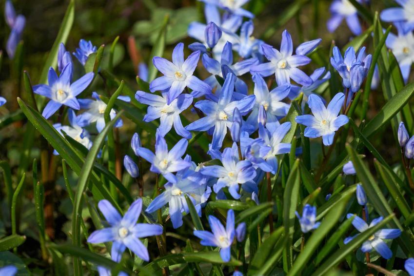 Cebulica dzwonkowata, cebulica peruwiańska, cebulica niebieska, cebulica biała i inne odmiany - sadzenie, wymagania, stanowisko, pielęgnacja