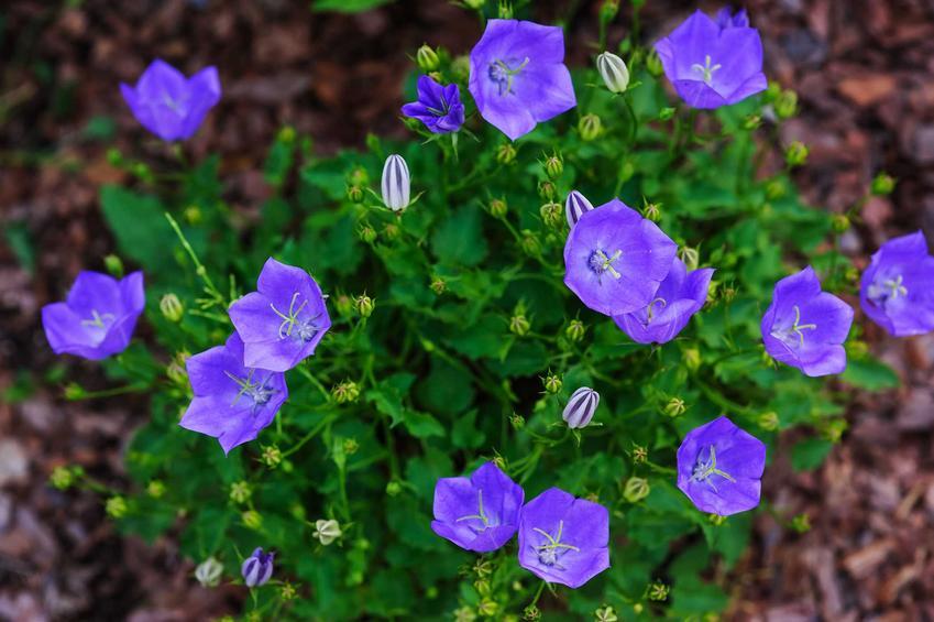 Kwiaty dzwonka karpacki, a także wymagania, stanowisko,  uprawa dzwonka karpackiego, jego kwitnienie i sadzenie krok po kroku