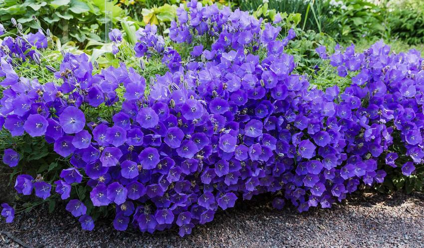 Grupa dzwoneka karpackiego w czasie kwitnienia a także wymagania, stanowisko, uprawa dzwonka karpackiego, sadzenie i rozmnażanie byliny