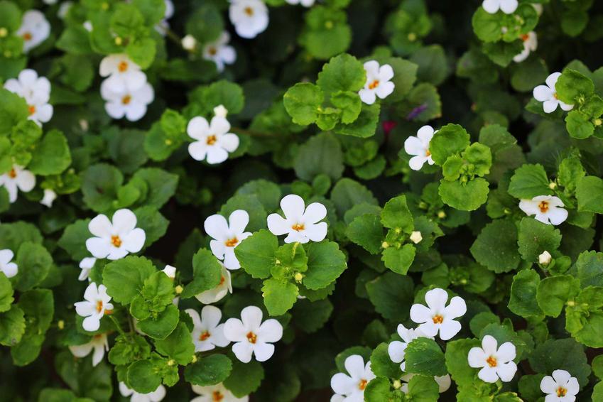 Bakopa drobnolistna w czasie kwitnienia, czyli bacopa drobnolistna oraz jej uprawa, pielęgnacja i porady