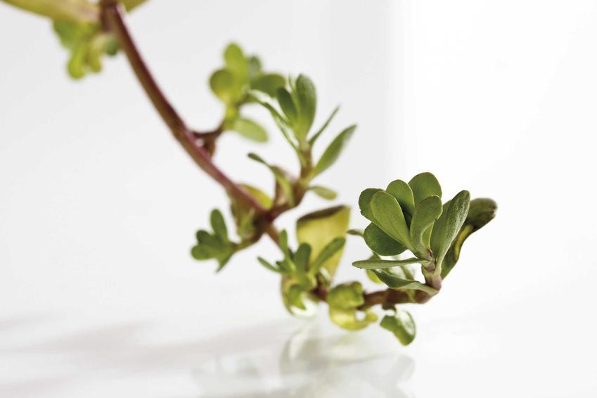 Bakopa drobnolistna czy też bacopa drobnolistna oraz jej uprawa, pielęgnacja w ogrodzie i porady dla ogrodników