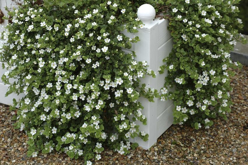 Bakopa, w tym bakopa drobnolistna jako kwiat do akwarium, a także uprawa oraz pielęgnacja delikatnej rośliny