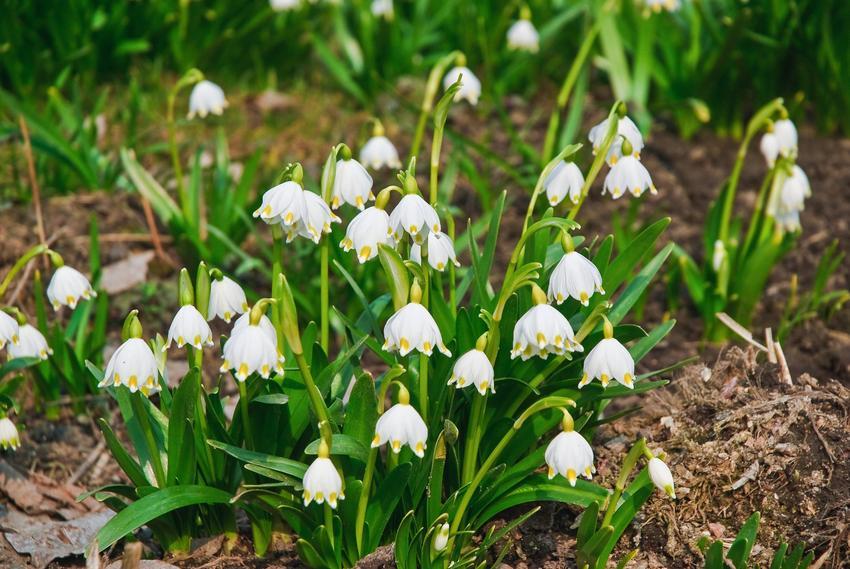Śnieżyca wiosenna z łaciny leucojum vernum w czasie kwitnienia oraz jej cebulki i uprawa
