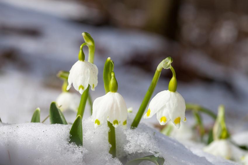 Śnieżyca wiosenna leucojum vernum przebijająca się przez śnieg oraz jej uprawa i zasady pielęgnacji