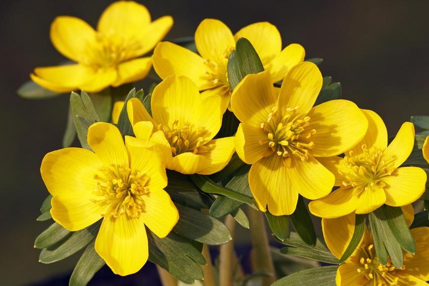 Kwiat rannik w czasie kwitnienia z łaciny eranthis hyemalis, jego sadzenie i uprawa