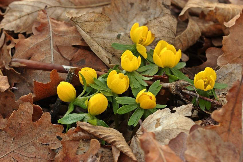 Kwiat rannik eranthis hyemalis podczad kwitnienia w ogrodzie, a także jego sadzenie i uprawa