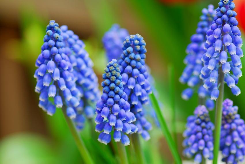 Szafirek armeński muscari armeniacum i nasiona szafirków, a także uprawa wyjątkowych kwiatów