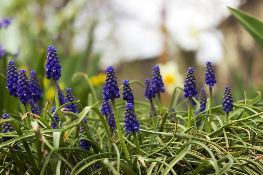 Szafirek armeński z łaciny muscari armeniacum w czasie kwitnienia w ogrodzie oraz nasiona szafirków