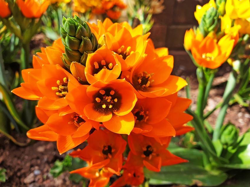 Śniedek wiechowaty podczas kwitnienia, a także uprawa i pielęgnacja oraz śniedek wątpliwy i śniedek baldaszkowaty