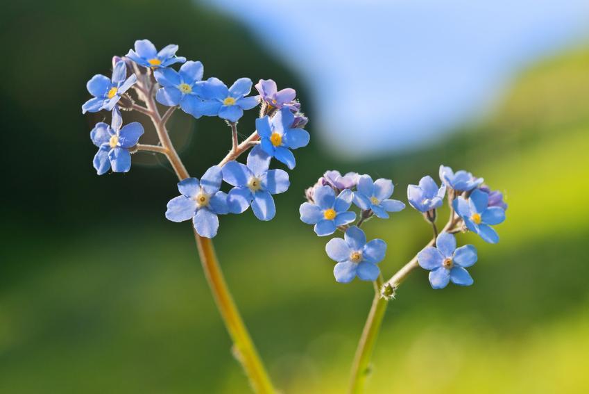 Niezapominajka polna i zbliżenie na jej kwiaty, czyli myosotis arvensis i jej uprawa