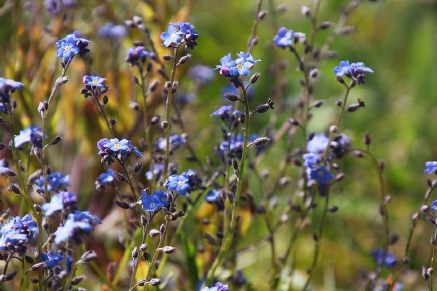 Kwiat niezapominajka leśna myosotis sylvatica, a także porady na temat jej sadzenia i uprawy