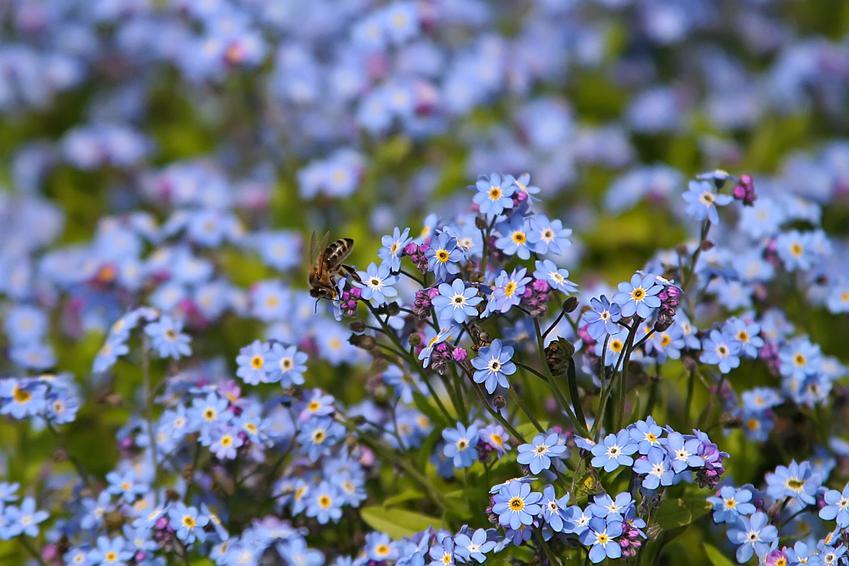 Niezapominajka leśna w czasie kwitnienia, czyli myosotis sylvatica i jej sadzenie oraz uprawa