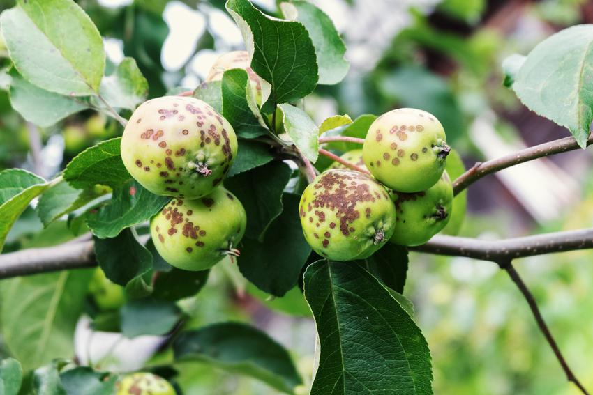 Parch na owocach, a także popularne choroby drzew owocowych, w tym jabłoni