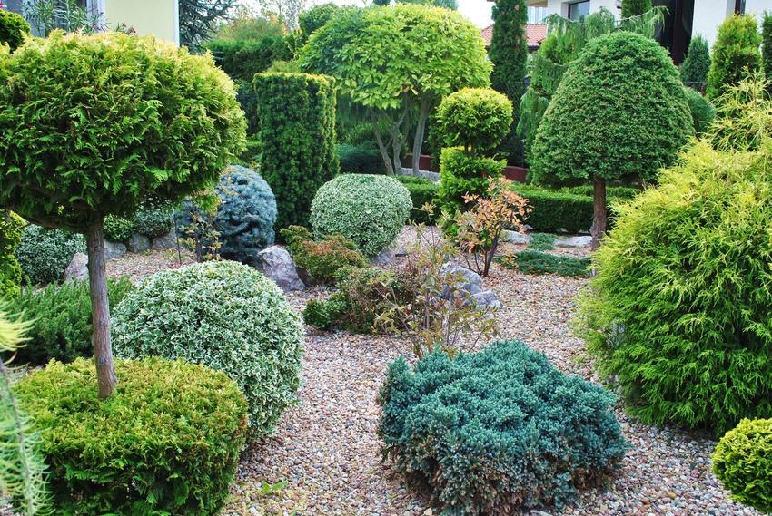 Iglaki i drzewa iglaste w ogrodzie, a także iglaki na pniu i ozdobne iglaki