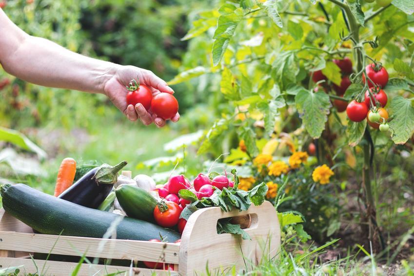 Warzywa podczas zbiorów, czyli terminy zbioru warzyw i kiedy zbierać warzywa
