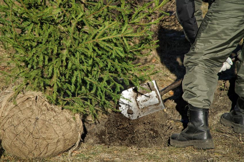 Przesadzanie drzew iglastych, a także przesadzanie drzew liściastych krok po kroku