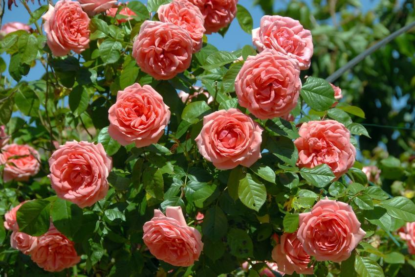 Róże kwitnące w ogrodzie, a także przesadzanie róż w ogrodzie krok po kroku