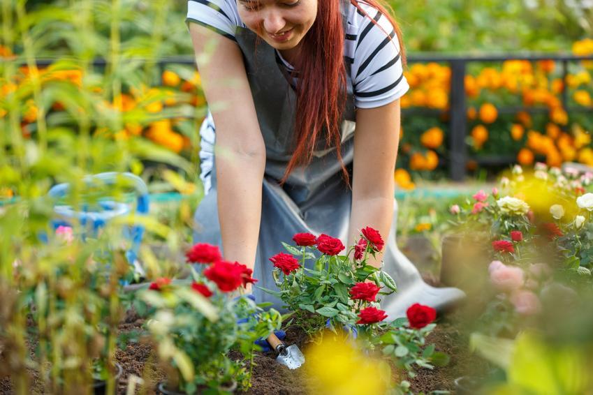 Kobieta przesadzająca róże, czyli przesadzanie róż i kiedy przesadzać róże w ogrodzie