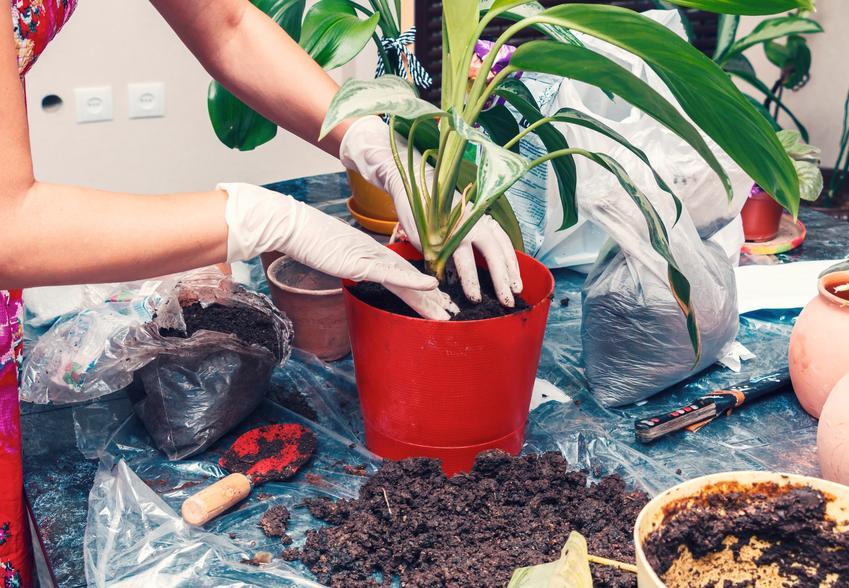 Kwiat doniczkowy w trakcie przesadzania, a także przesadzanie kwiatów doniczkowych i roślin doniczkowych