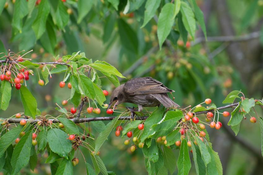 Ptak żerujący na drzewku owocowym, a także odstraszanie ptaków i urządzenie do odstraszania ptaków