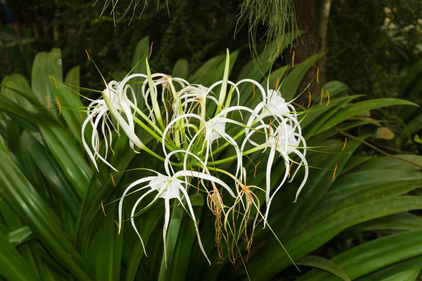Kwiat ismena w ogrodzie podczas kwitnienia, a także jej sadzenie, uprawa i zasady pielęgnacji