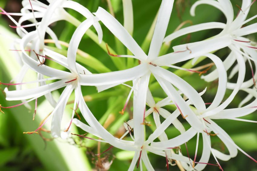 Kwiat ismena w czasie kwitnienia oraz zasady jej uprawy i pielęgnacji