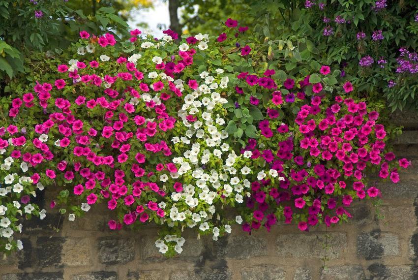 Pięknie kwitnące surfinie w ogrodzie, a także nawóz do surfinii